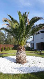 Najsłynniejsza palma w Polsce - zrobiła karierę telewizyjną i stała się symbolem domu pod Nadarzynem